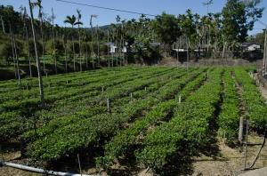 傳統農法茶園